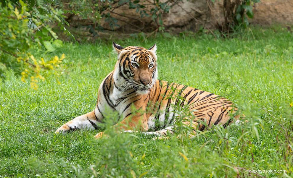 3. Уссурийский или амурский тигр ( Panthera tigris altaica ) — как вы наверняка знаете — самый