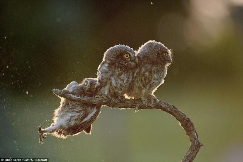 Две совы делают вид, что не знают своего неуклюжего друга, который потерял равновесие. Фотография «П