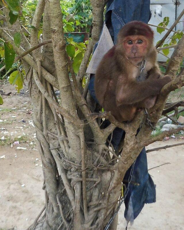 Домашнее животное вьетнамцев