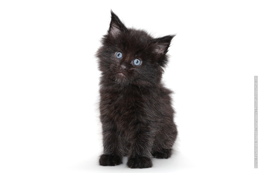 котенок мейн кун черный продажа в Москве