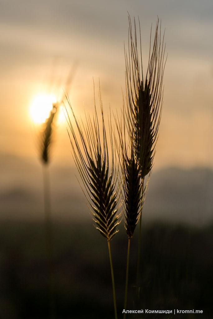 Колосья на закате
