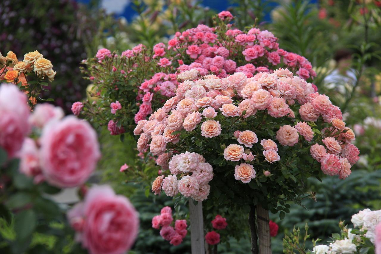 розы в розарии