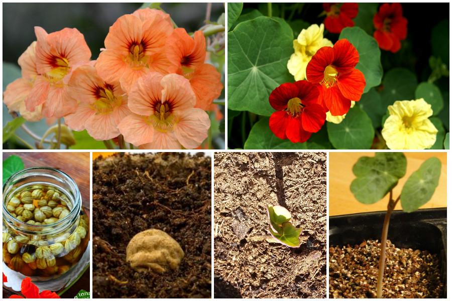 Настурция - выращивание из семян. Когда сажать семенами