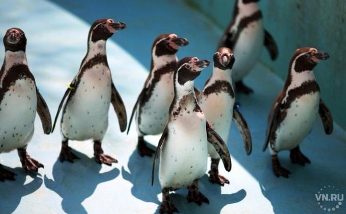ВНовосибирске пройдут показательные питания пингвинов