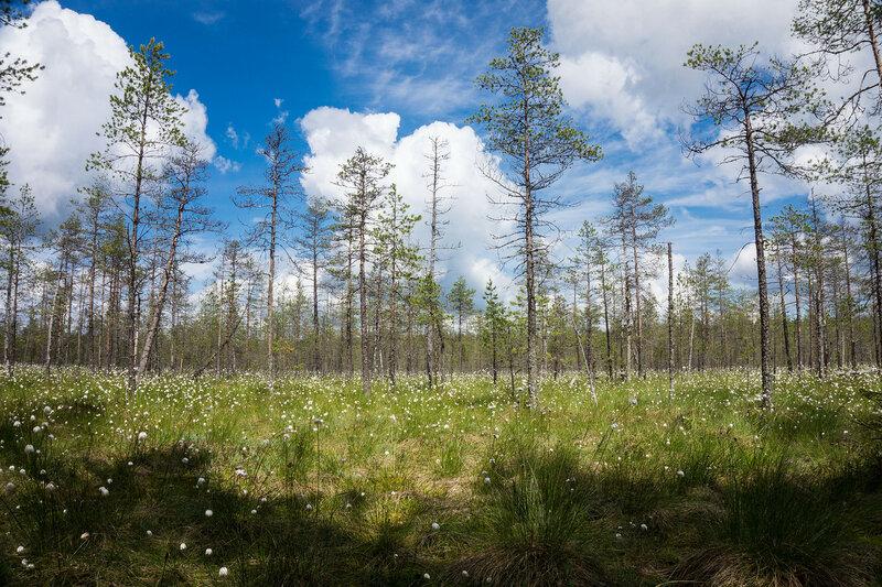 белые цветы пушицы на болоте в июне