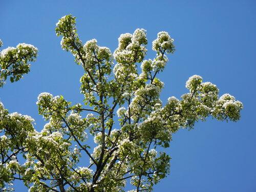 Москва...Аптекарский  огород.... цветёт  груша уссурийская...