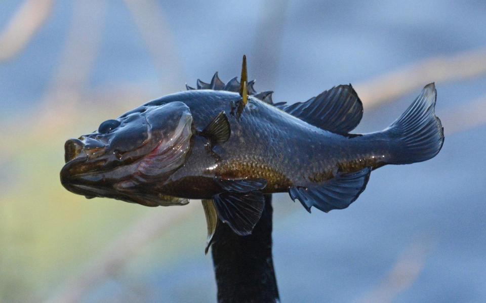 Жадная птица проглотила рыбу, которая в три раза больше его головы