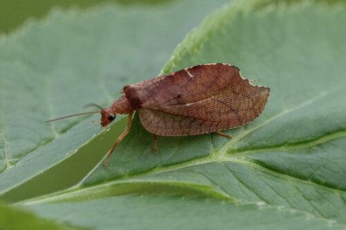 Гемероб серпокрылый (Drepanepteryx phalaenoides (Linnaeus, 1758))