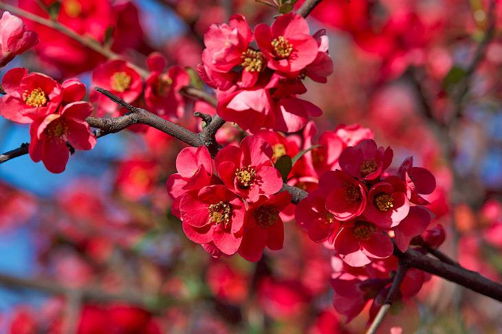 2. Айва японская — низкорослый декоративный и плодовой кустарник семейства розоцветных.