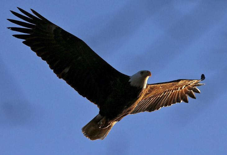 1. Белоголовый орлан — одна из наиболее крупных хищных птиц Северной Америки, но при этом по ве