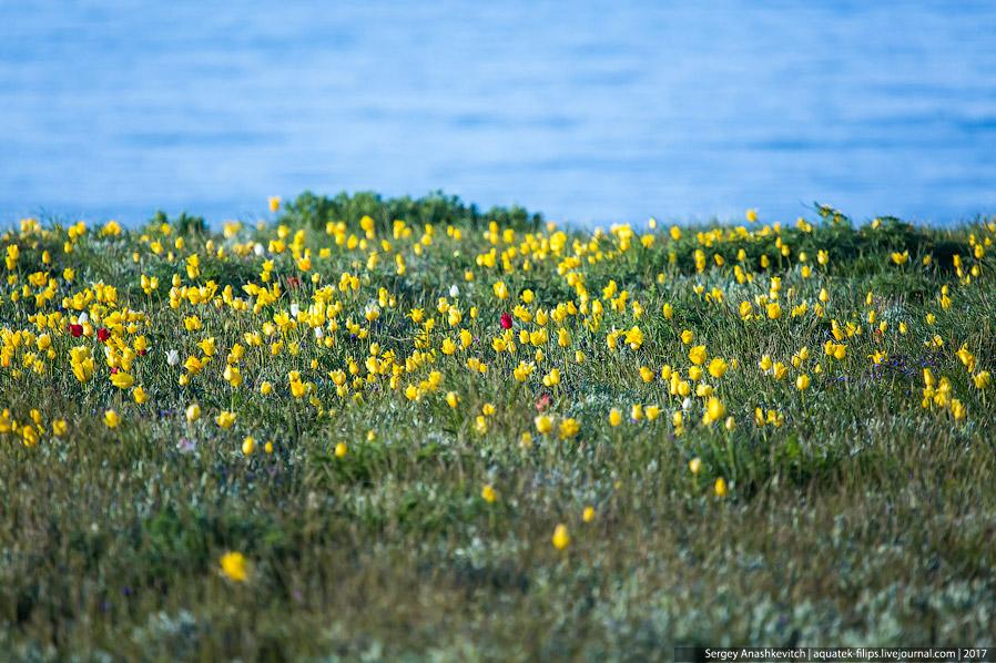 3. Идешь по ковру из желтых тюльпанов, сразу за ними несколько метров песчаного пляжа и полоса