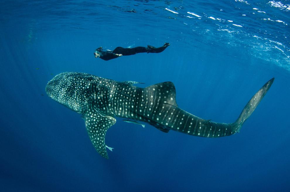 11. Китовая акула, питающаяся планктоном, в целом рассматривается как не представляющая абсолютно ни