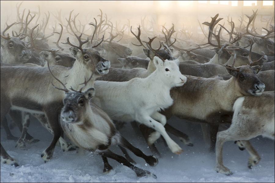 Как саамы кастрируют оленей