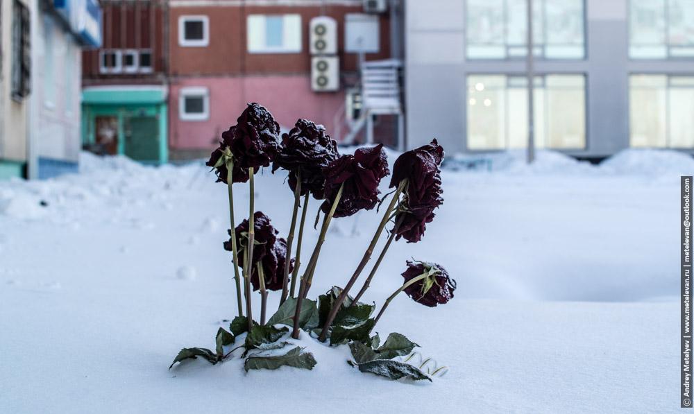 розы на морозе выброшены из окна