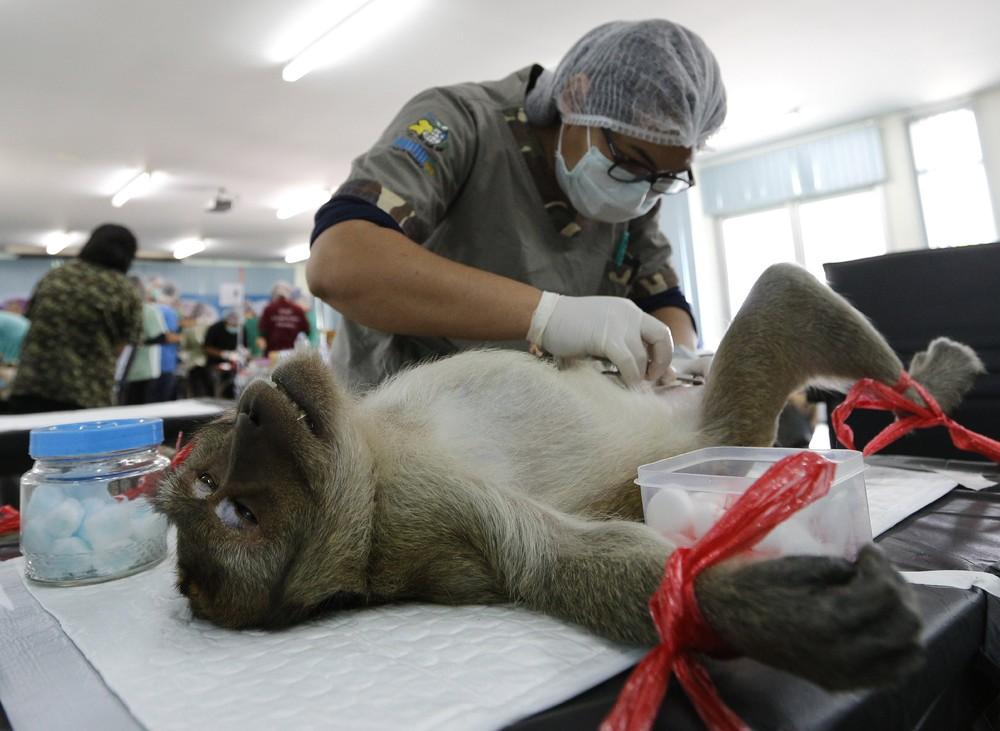 В Таиланде взялись за контроль рождаемости среди обезьян