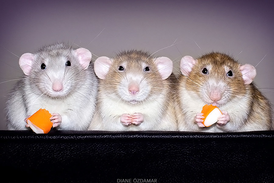 Такие милые крысы