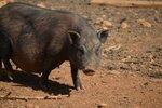 Чёрная свинка