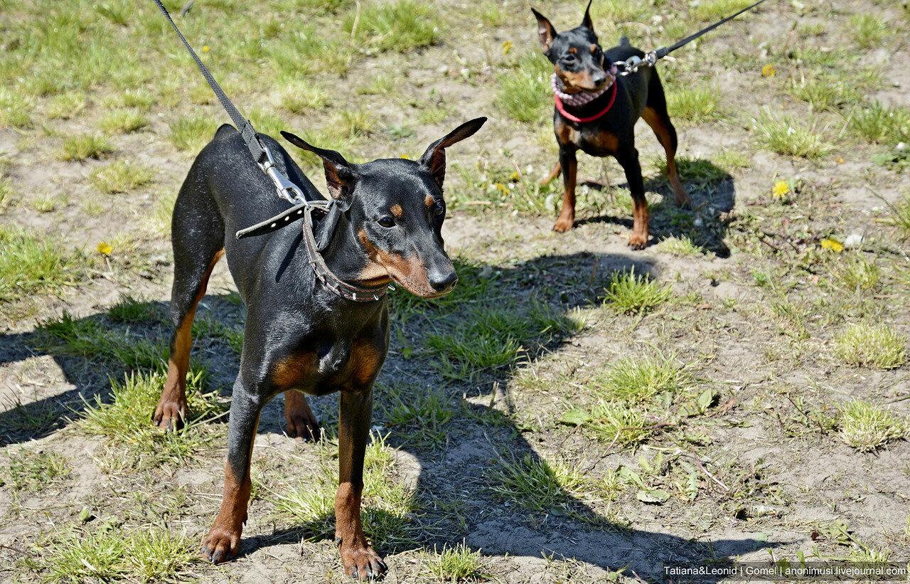 Гомельские собаки