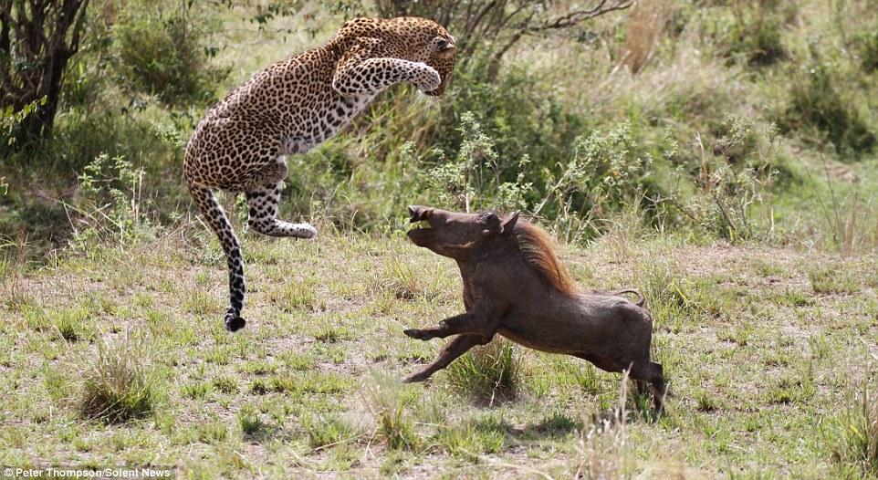 Фотографу удалось снять уникальный момент с нескольких ракурсов. Полет леопарда с широко расста