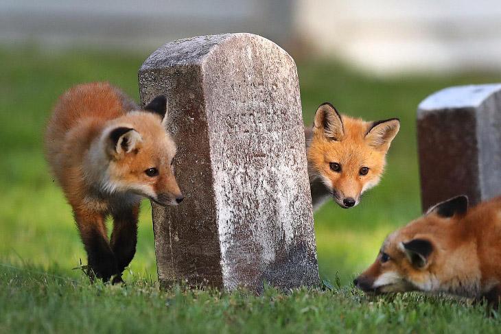 Лисы на кладбище (12 фото)