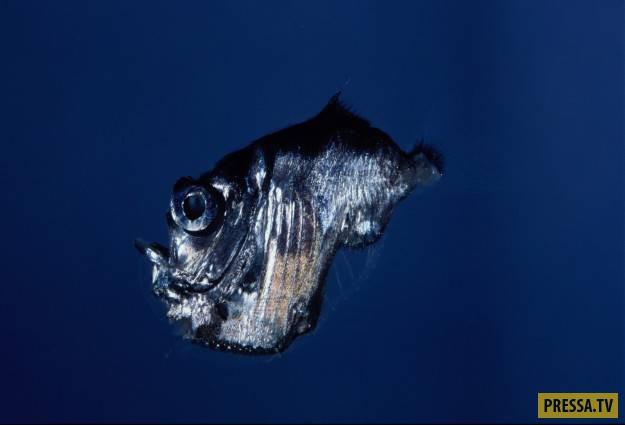 Эту рыбу обнаружили на глубине 1400 метров под водой в Большом барьерном рифе. По сути она выглядит,