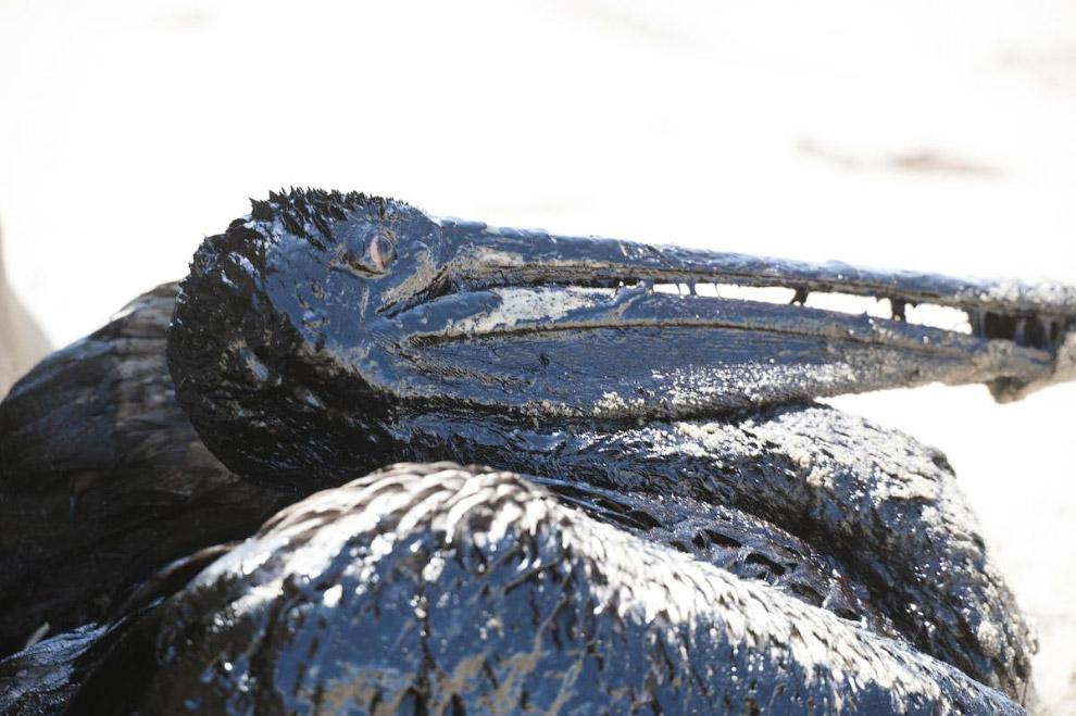 14. Ну что там у тебя? Цапля кормит своих отпрысков на берегу реки Брахмапутры в Индии. (Фото A