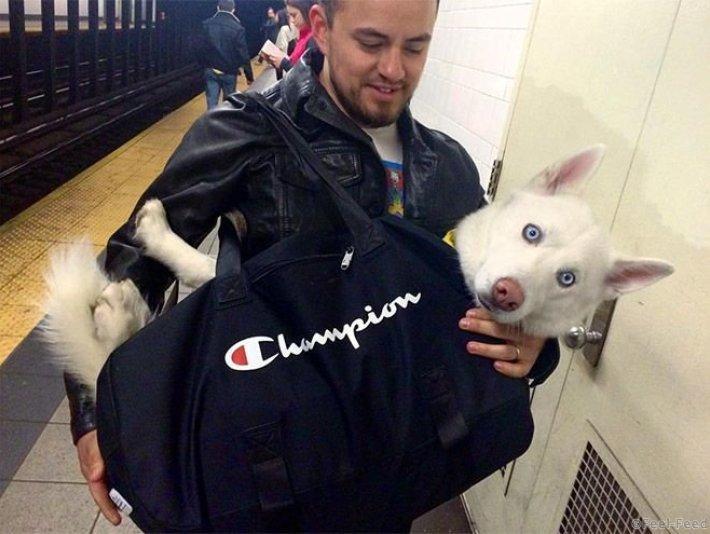 В метро Нью-Йорка запрещен проезд с собаками, только если они не в сумке. И как же быть, если у вас