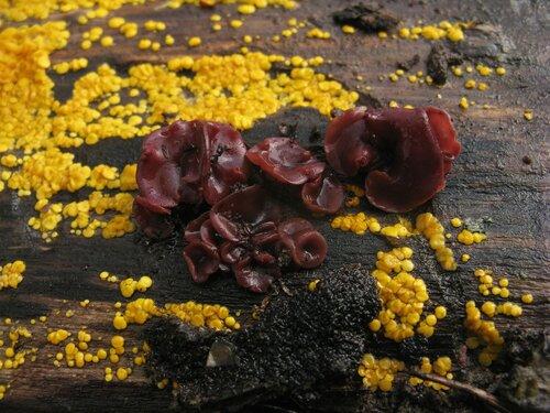 В компании с Биспореллой лимонно-желтой (Bisporella citrina) Автор фото: Станислав Кривошеев
