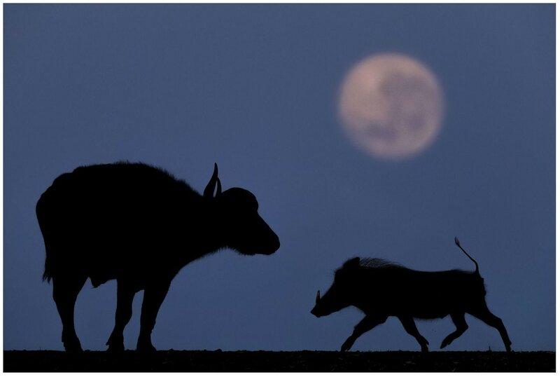 19 августа. Утро. Кабан и буйвол