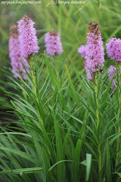 Liatris spicata Floristan Violett.JPG