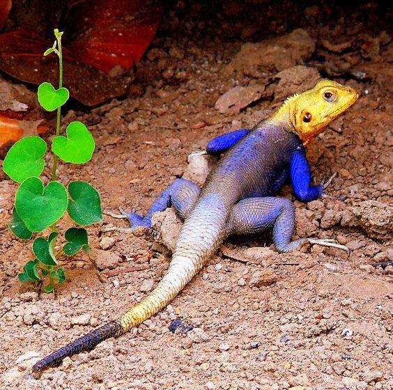 Самой крупной ящерицей был варан, выставленный в 1937 году в зоопарке Сент-Луиса, штат Миссури, США.
