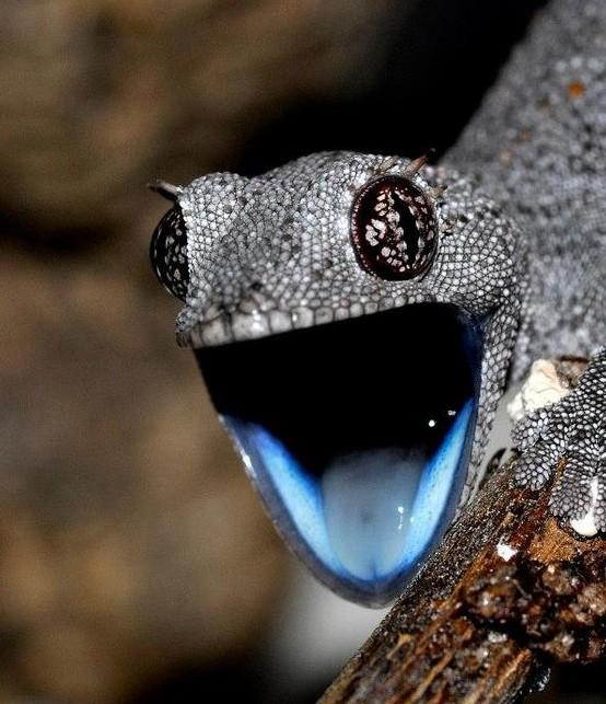 Летучий дракон и лапка геккона Летучие драконы — род подсемейства афроаравийских агам семейств