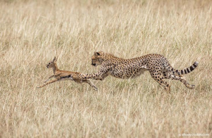 Дикая диета. Сколько «влезает» в слона, льва, бегемота, леопарда..? (17 фото)