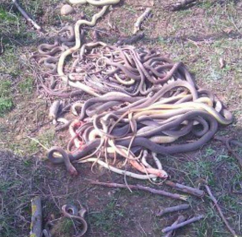 Гора изрубленных змей… Ты не поверишь, когда узнаешь, КТО с ними расправился. (4 фото)