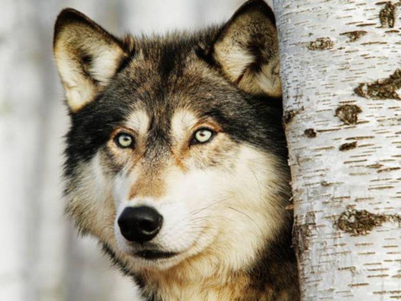 Впрочем, в волчьей стае действительно существует строгая иерархия. Все волки подчиняются альфа-паре.