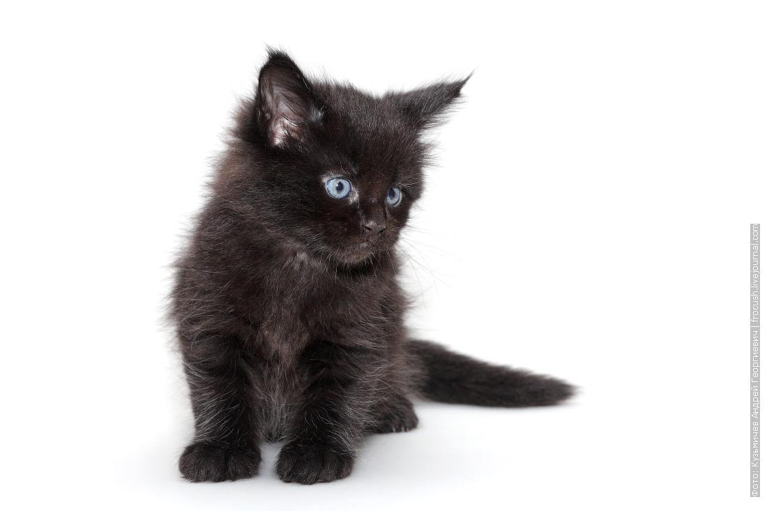 черный котенок мейн кун продажа