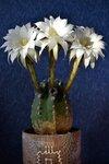 Эхинопсис субденудата - Echinopsis subdenudata
