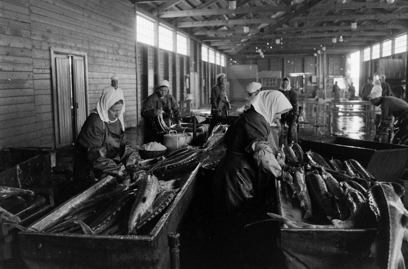 Выпотрошенная рыба, уже без икры, ждет отправления в цех копчения, заморозки или консервации.