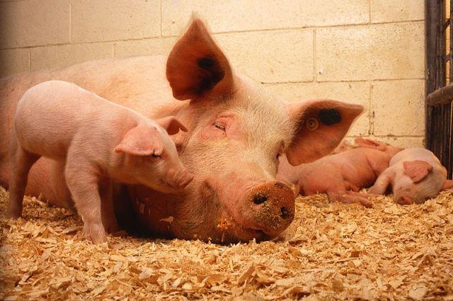 ВХворостянском районе обнаружили еще 2-х свиней сафриканской чумой