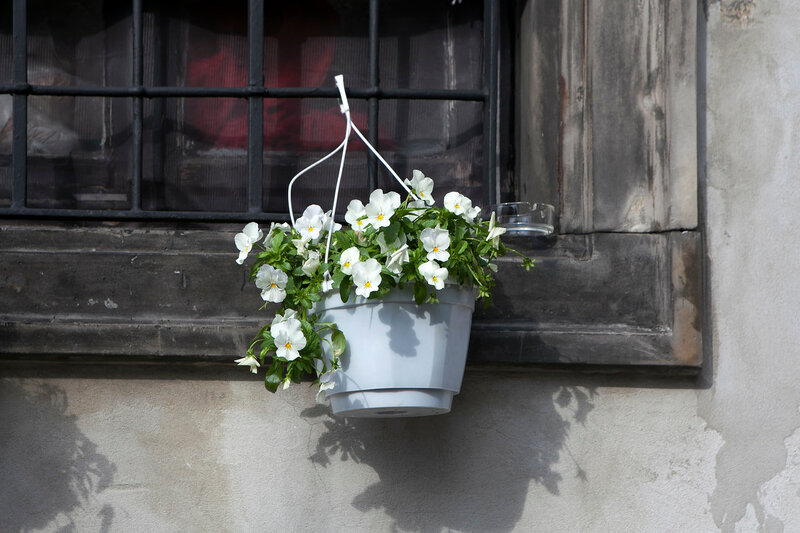 the white Violets, in white pots, suspended to the bars on the windows in the restaurant