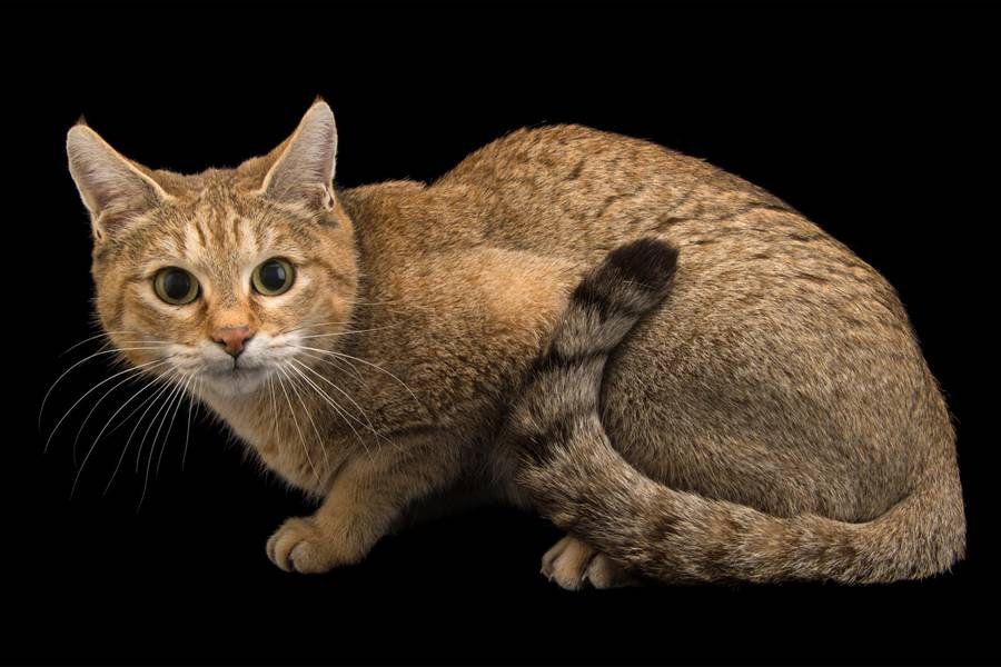 Asiatic Wildcat