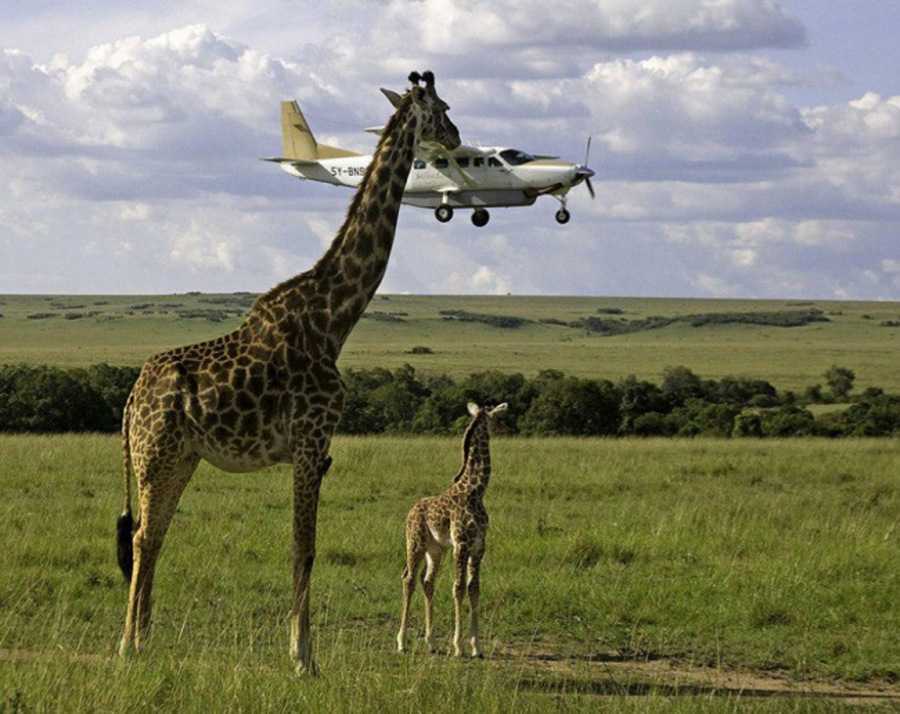 Как жираф самолёт укусил