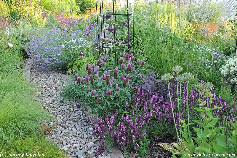 Trifolium rubens (20).jpg
