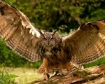 owl_wings_flapping_predator_101841_1280x1024.jpg