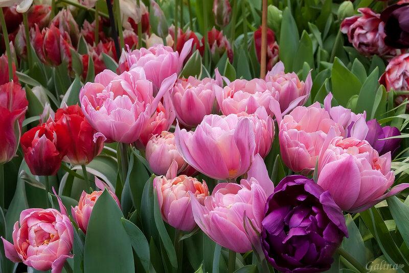 Нежность Весны дарят тюльпаны