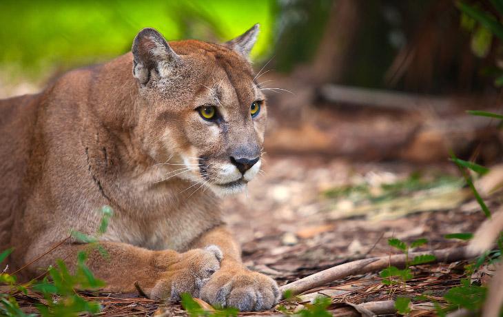 Источник: Alexey Osokin   Флоридская пума (Puma concolor coryi) является самым редким подвид