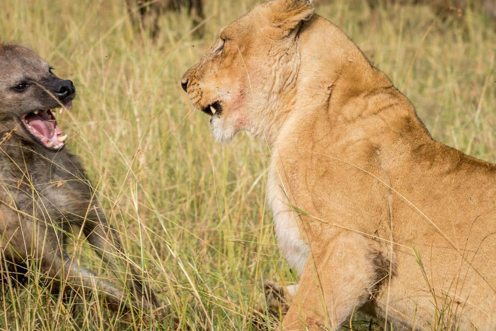 3. Лев и гиена. Лицом к лицу. Или морда к морде, как кому больше нравится. (Фото Ingo Gerlach):