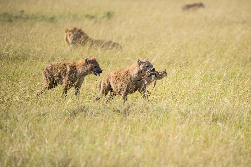 7. В отличие от больших кошек, гиену вряд ли можно назвать очаровательным животным. Хотя временами и