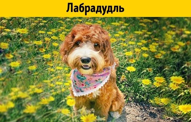 Термин «лабрадудль» появился в50-е годы прошлого века. Эти собаки используются