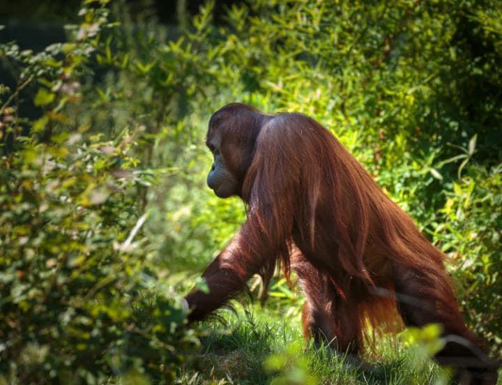 Тропические леса Суматры, Индонезия. Под угрозой с 2011 года.